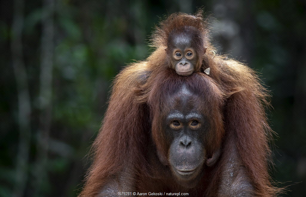 Orangutan (Pongo sp.) mother and baby rescued from entertainment industry, cared for by Borneo Orangutan Survival Foundation (BOSF), Kalimantan, Indonesian Borneo.