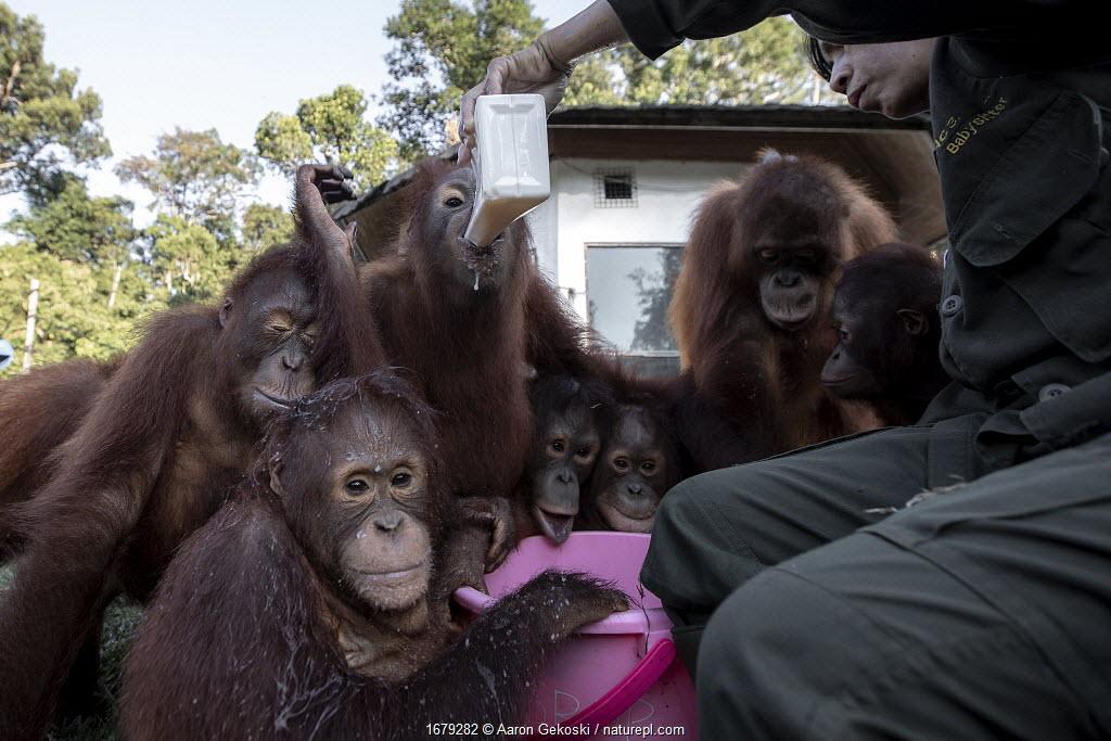 Baby Orangutans (Pongo sp.) being fed milk by carer, Borneo Orangutan Survival Foundation (BOSF), Kalimantan, Indonesian Borneo.