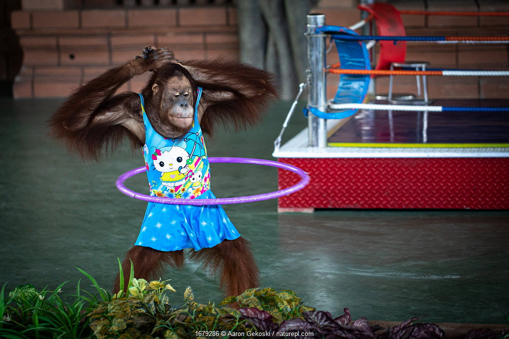 Dressed Orangutan (Pongo sp) forced to perform hulahoop as part of a boxing show for the entertainment of tourists. Safari World, Cambodia.