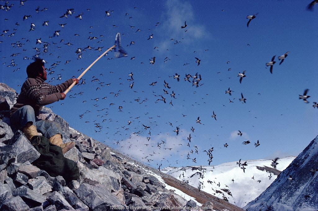 Inuit hunter catching Little auks (Alle alle) in long handled net (ipo). Northwest Greenland, 1980