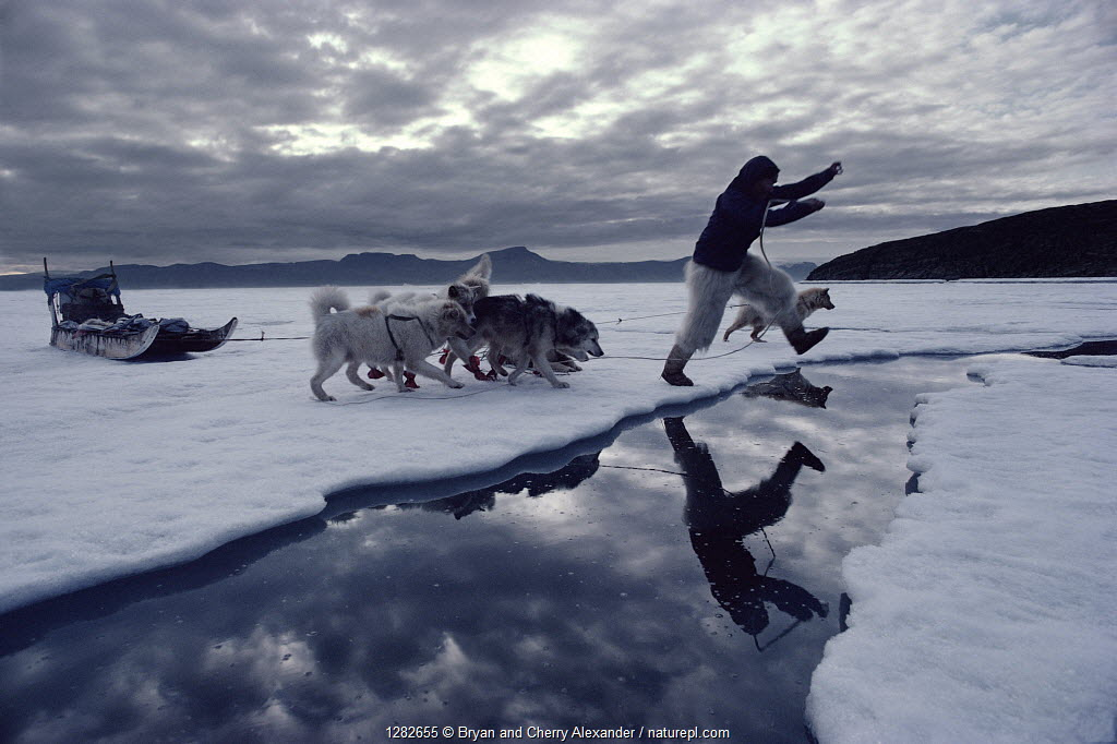 Inuit hunter jumping lead in summer sea ice, followed by Huskies (Canis familiaris). Qeqertat, Northwest Greenland, 1980