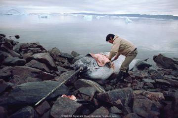 Inuit hunter butchering dead Narwhal (Monodon monoceros) near Qeqertat, Northwest Greenland.
