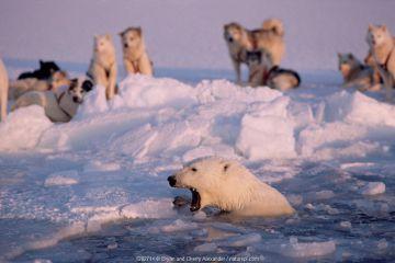 Polar bear (Ursus maritimus) in lead snarling at Huskies (Canis familiaris), Northwest Greenland.
