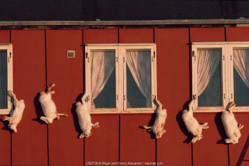 Inuit home with dead Arctic hares (Lepus arcticus) hanging outside to keep them cold. Moriussaq, Northwest Greenland.