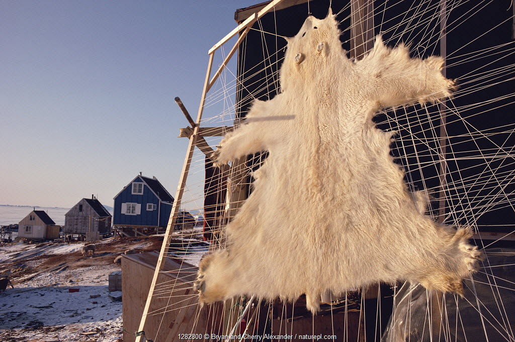 Polar bear (Ursus maritimus) skin stretched for drying outside house. Savissivik, Northwest Greenland, 1991.