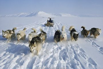 Otto Simigaq, an Inuit hunter, driving his team of huskies near Pitoraavik. Siorapaluk, Northwest Greenland. (1977)