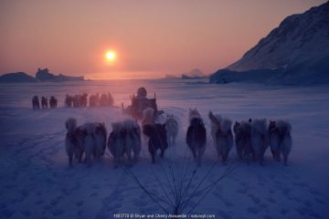 Inuit hunters travelling by dog sleds at sunset during a long polar bear hunt, Cape York. Northwest Greenland.