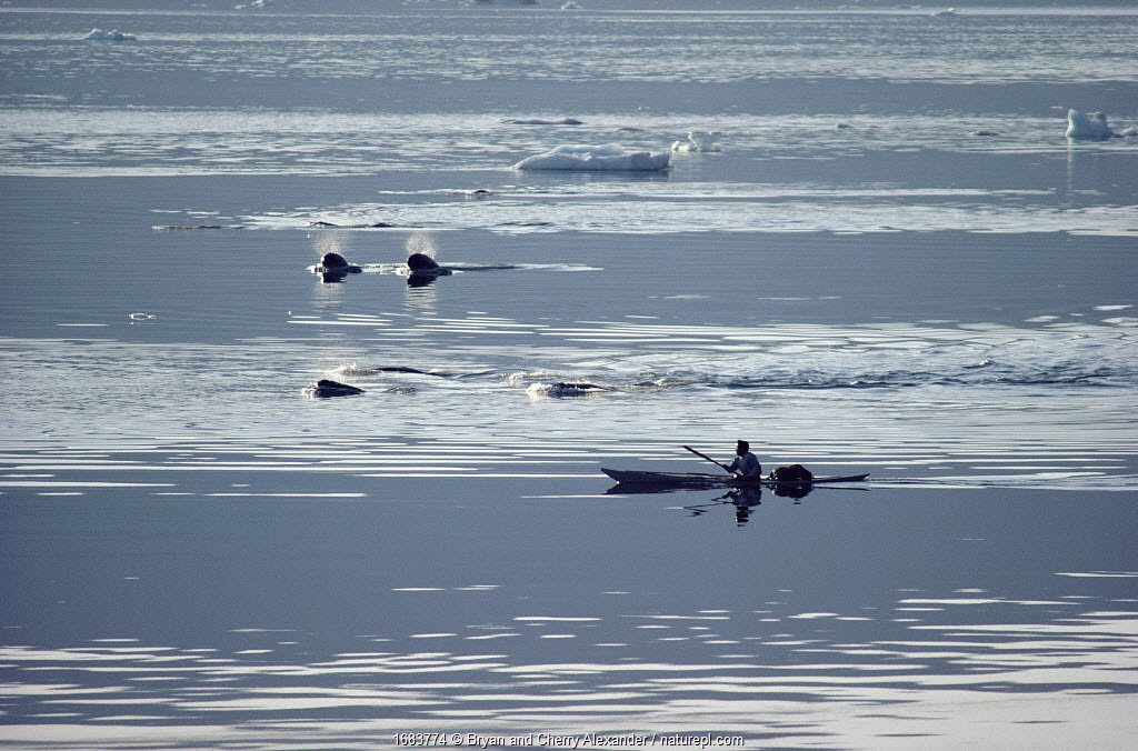 Itukusuk, an Inuit hunter, pursuing a pod of Narwhals (Monodon monoceros) in his kayak in Inglefield Bay. Northwest Greenland. (1985)