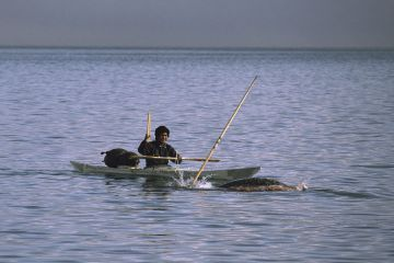 Isaq Qujaukitsoq, an Inuit hunter, harpooning a Narwhal (Monodon monoceros) from his kayak in Inglefield Fjord. Northwest Greenland. 1985