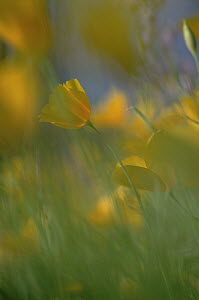 Mexican Golden Poppy (Eschscholzia glyptosperma) field, Organ Pipe Cactus National Monument, Arizona - Jim Brandenburg