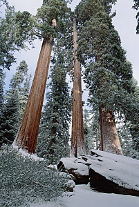 Giant Sequoia (Sequoiadendron giganteum) trees with recent dusting of snow, King's Canyon National Park, California  -  Jim Brandenburg