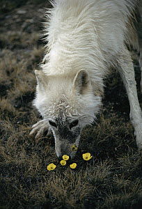 Arctic Wolf (Canis lupus) alpha male known as Buster, smelling Arctic Poppy (Papaver lapponicum) flowers, Ellesmere Island, Nunavut, Canada - Jim Brandenburg