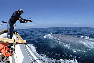 Blue Whale (Balaenoptera musculus) with researcher Bruce Mate attempting to attach satellite tag, Santa Barbara, California  -  Flip Nicklin