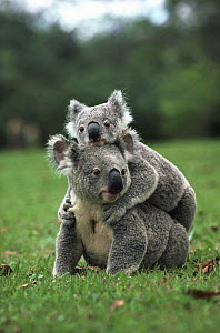 Koala (Phascolarctos cinereus) on another's back, Australia  -  Mitsuaki Iwago