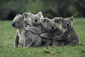 Koala (Phascolarctos cinereus) group in a line, Australia  -  Mitsuaki Iwago