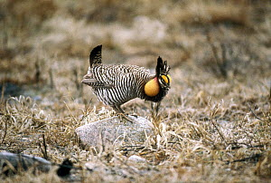 Greater Prairie Chicken (Tympanuchus cupido) male booming in courtship display, South Dakota  -  Jim Brandenburg
