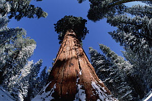 Giant Sequoia (Sequoiadendron giganteum), General Sherman tree in Sequoia National Park, California  -  Jim Brandenburg