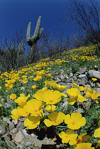 Mexican Golden Poppy (Eschscholzia glyptosperma) field with Saguaro (Carnegiea gigantea) cactus, Organ Pipe Cactus National Monument, Arizona - Jim Brandenburg