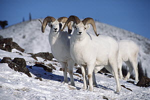 Dall's Sheep (Ovis dalli) group on snowy hillside, Alaska  -  Michio Hoshino