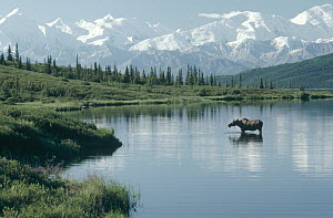 Alaska Moose (Alces alces gigas) in Wonder Lake, Denali National Park and Preserve, Alaska - Michio Hoshino