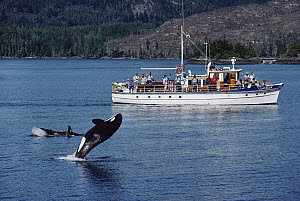 Orca (Orcinus orca) leaping, watched by tourists from Stubbs Island charter boat, Johnstone Strait, northeast Vancouver Island, Canada  -  Flip Nicklin