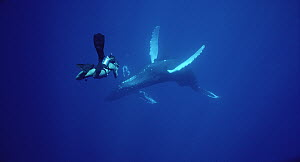 Humpback Whale (Megaptera novaeangliae) filmed by diver Chuck Nicklin, Maui  -  Flip Nicklin