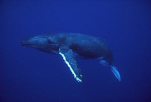 Humpback Whale (Megaptera novaeangliae), Kona coast, Hawaii - Flip Nicklin