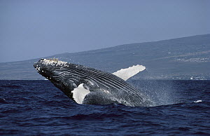 Humpback Whale (Megaptera novaeangliae) breaching, Kona coast, Hawaii - Flip Nicklin