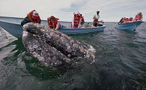Gray Whale (Eschrichtius robustus) touched by tourists, San Ignacio Lagoon, Baja California, Mexico - Flip Nicklin