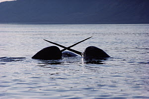 Narwhal (Monodon monoceros) males sparring over carcass of dead female, Baffin Island, Canada - Flip Nicklin