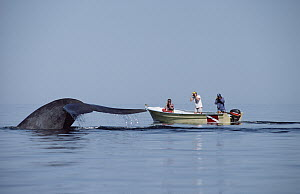Blue Whale (Balaenoptera musculus) and researchers, Sea of Cortez, Mexico - Flip Nicklin