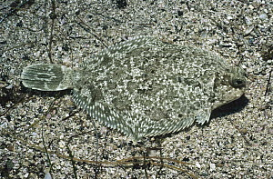 Flatfish (Pleuronectiformes) camouflaged on ocean floor, California  -  Flip Nicklin