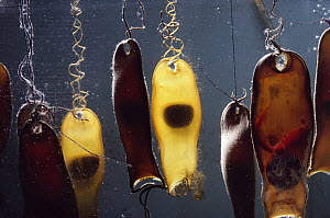 Swell Shark (Cephaloscyllium ventriosum) egg cases with embryos, sometimes called mermaid's purses, the pups will hatch in 7-10 months  -  Flip Nicklin