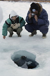 Ringed Seal (Phoca hispida) at breathing hole being photographed by Andrew Taqutu and son, Arctic  -  Flip Nicklin