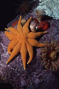 Sea Star, Anemones and Coralline Algae living 40 feet below the water surface, Admiralty Inlet, Lancaster Sound, Nunavut, Canada - Flip Nicklin