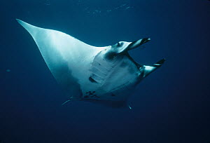Manta Ray (Manta birostris) underwater portrait, Baja California, Mexico - Flip Nicklin