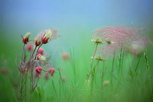 Prairie Smoke (Geum triflorum) blowing in the wind, North America  -  Jim Brandenburg