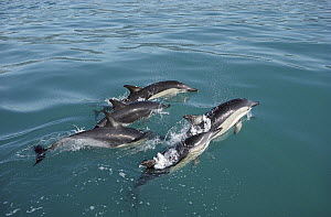 Common Dolphin (Delphinus delphis) group at water surface, Kaikoura, New Zealand  -  Flip Nicklin