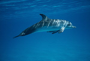 Atlantic Spotted Dolphin (Stenella frontalis) underwater portrait with remora attached to belly, Bahamas  -  Flip Nicklin