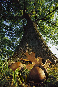 Northern Red Oak (Quercus rubra) tree with corns and leaves at base, Massachusetts  -  Mark Moffett