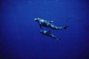 Pygmy Killer Whale (Feresa attenuata) pair, Hawaii - Flip Nicklin
