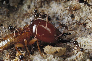 Marauder Ant (Pheidologeton diversus) minor workers attacking termite soldier at front lines of a raid, Borneo  -  Mark Moffett