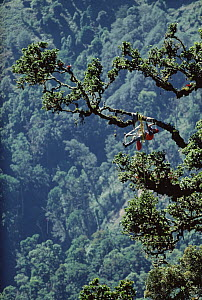 Rainforest researcher Pierre Berner studies tree growth, Rio Macho Forest Reserve, Costa Rica  -  Mark Moffett