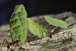 Leafcutter Ant (Atta cephalotes) workers carrying leaves back to nest, Barro Colorado Island, Panama - Mark Moffett