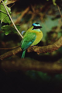 Blue-crowned Motmot (Momotus momota) hunts insects in the mid to lower canopy, Monteverde Cloud Forest Reserve, Costa Rica  -  Mark Moffett