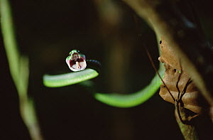Parrot Snake (Leptophis ahaetulla) with open mouth, Barro Colorado Island, Panama  -  Mark Moffett