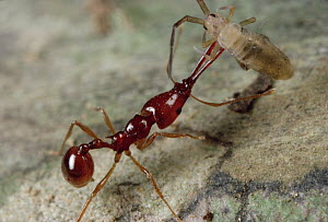 Trap-jaw Ant (Acanthognathus teledectus) carries prey, a springtail she has stunned by injecting venom, back to nest, Costa Rica  -  Mark Moffett
