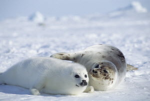 Harp Seal (Phoca groenlandicus) mother and pup, Gulf of St Lawrence, Canada  -  Michio Hoshino