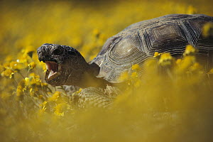 Desert Tortoise (Gopherus agassizii) in a field of yellow flowers, Mojave Desert, California - Larry Minden