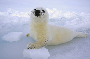 Harp Seal (Phoca groenlandicus) pup camouflaged against ice field, Gulf of St Lawrence, Canada  -  Michio Hoshino